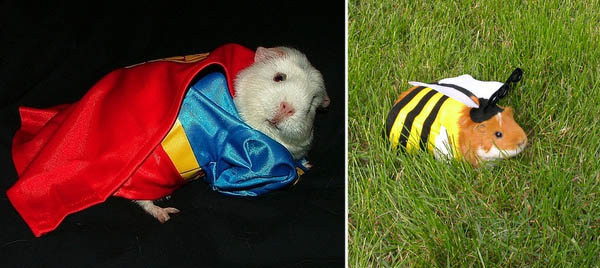guinea-pig-in-costume
